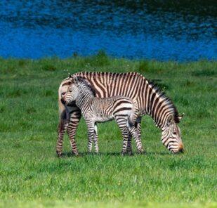 Hartmanns Mountain Zebra Equus Zebra Hartmannae Marwell Zoo 4
