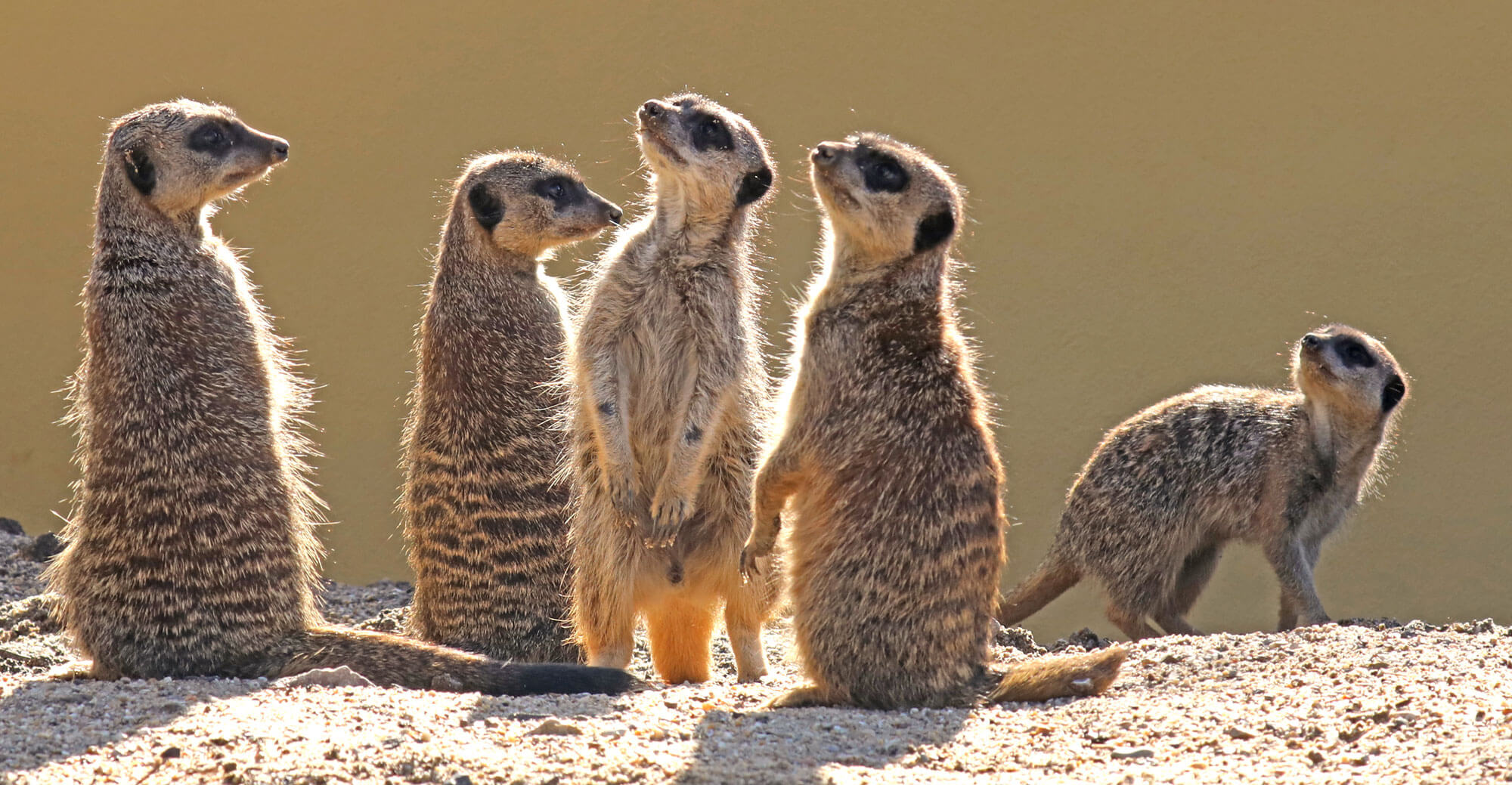 Meerkat Suricata Suricatta Marwell Zoo Homepage