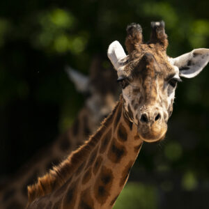 Rothschilds Giraffe Giraffa Camelopardalis Rothschildi Marwell Zoo Jason Brown 2