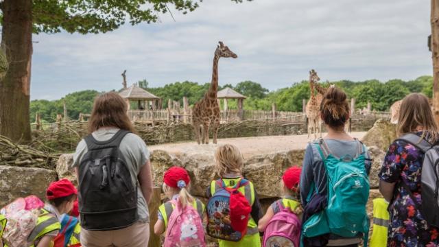 Rothschilds Giraffe Giraffa Camelopardalis Rothschildi Marwell Zoo School Group