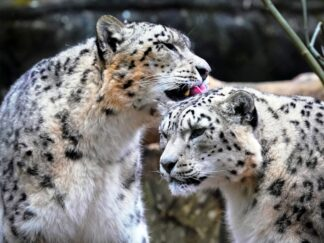 Snow Leopard Panthera Uncia Marwell Zoo 11