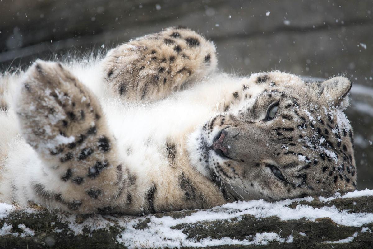 Snow Leopard Panthera Uncia Marwell Zoo 13