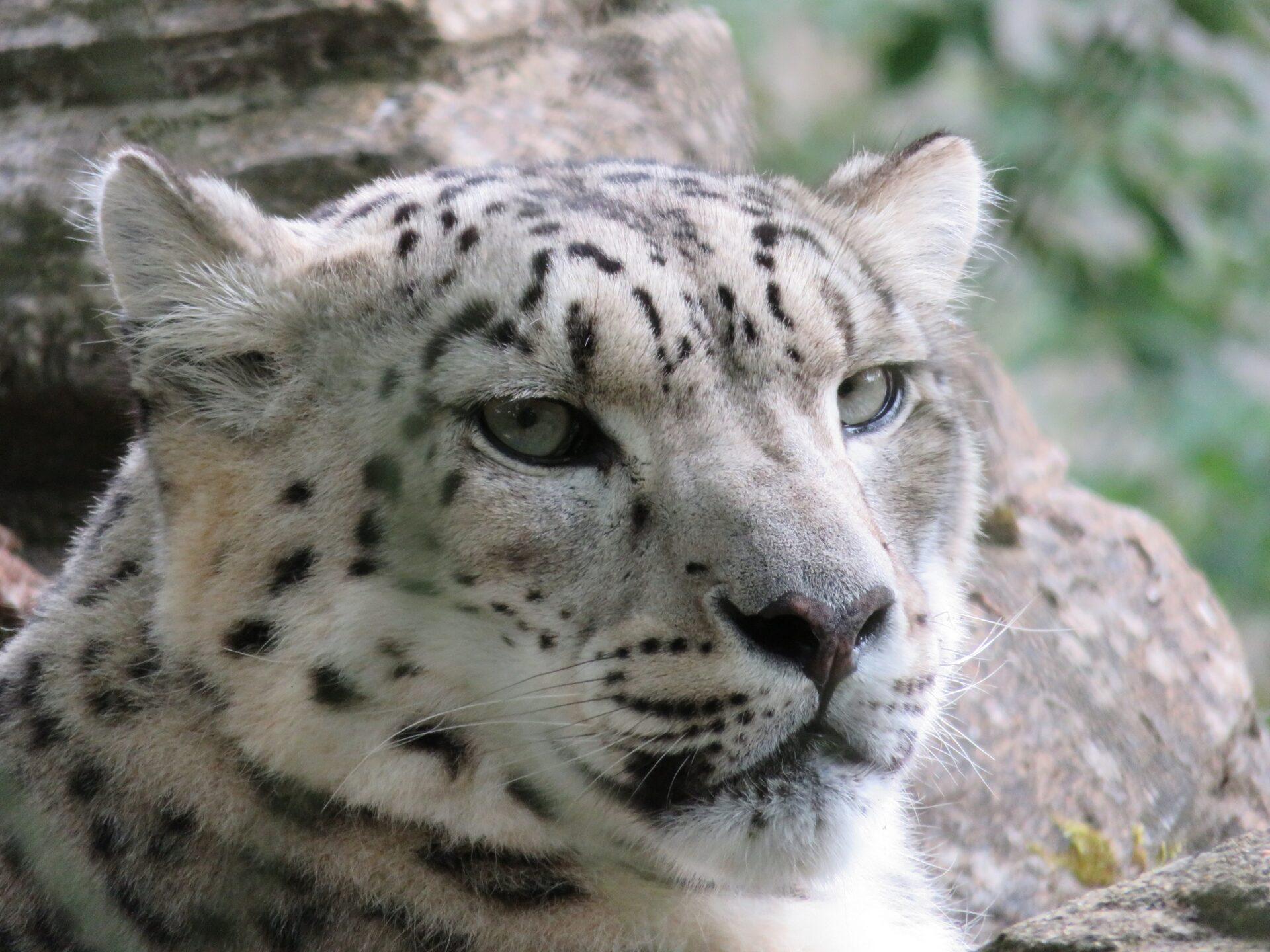 Snow Leopard Panthera Uncia Marwell Zoo 6