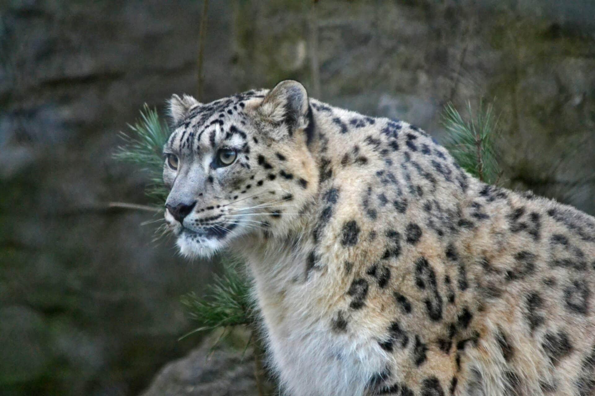 Snow Leopard Panthera Uncia Marwell Zoo 7