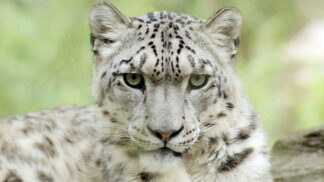 Snow Leopard Panthera Uncia Marwell Zoo Directory 3