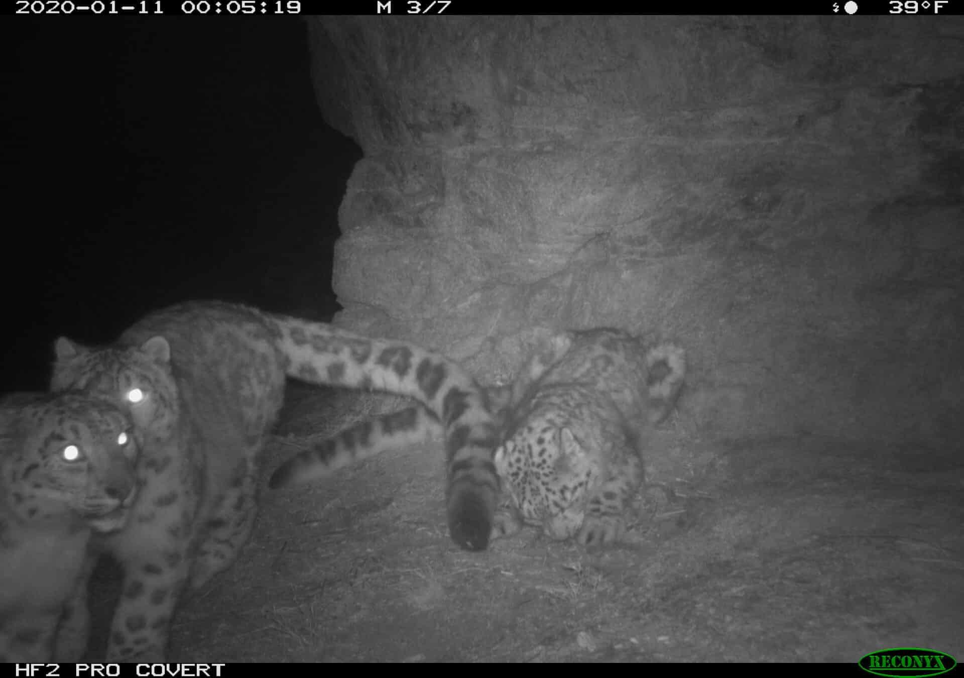 Snow Leopard Panthera Uncia Marwell Zoo Kazakhstan 1