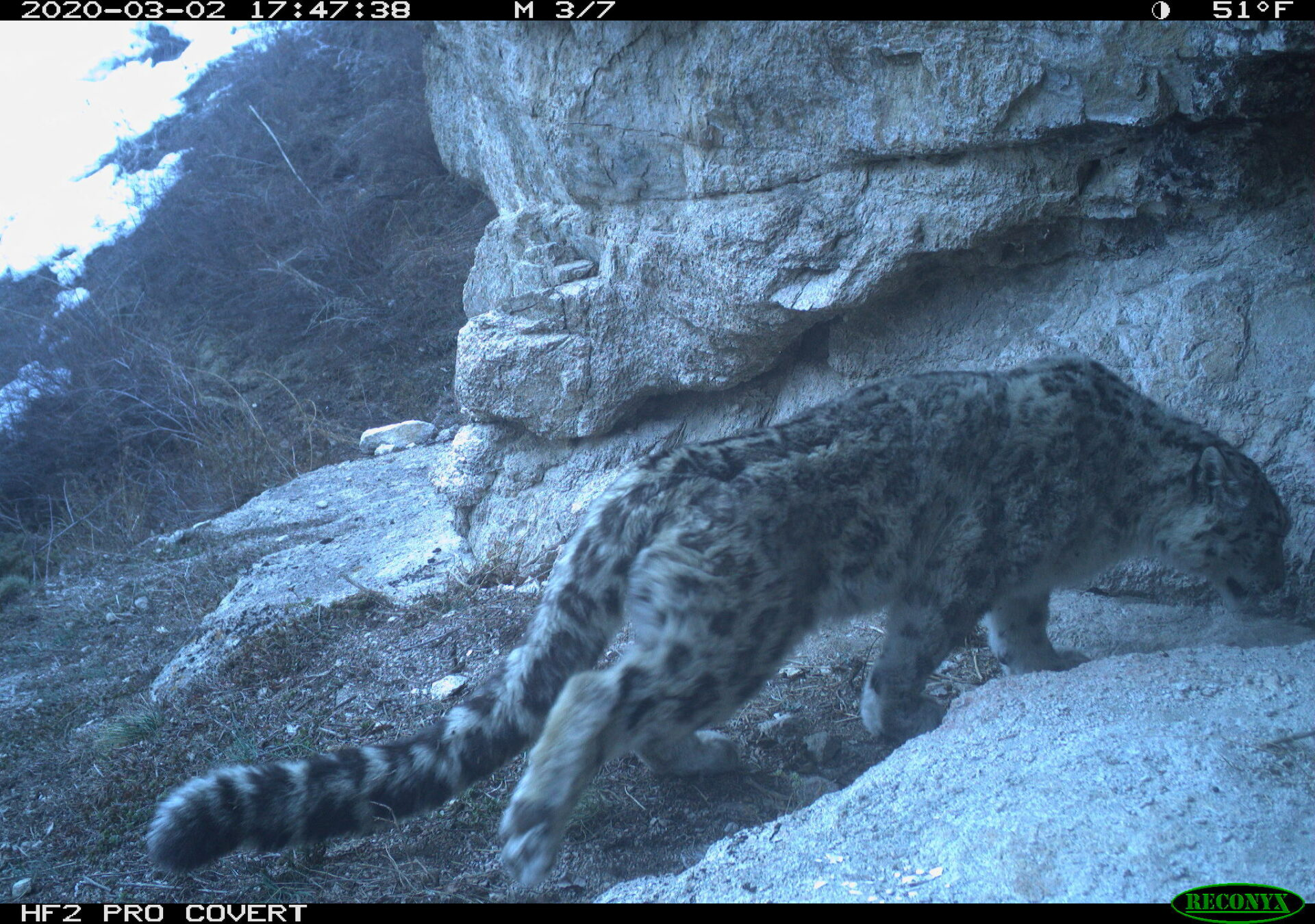 Snow Leopard Panthera Uncia Marwell Zoo Kazakhstan 2
