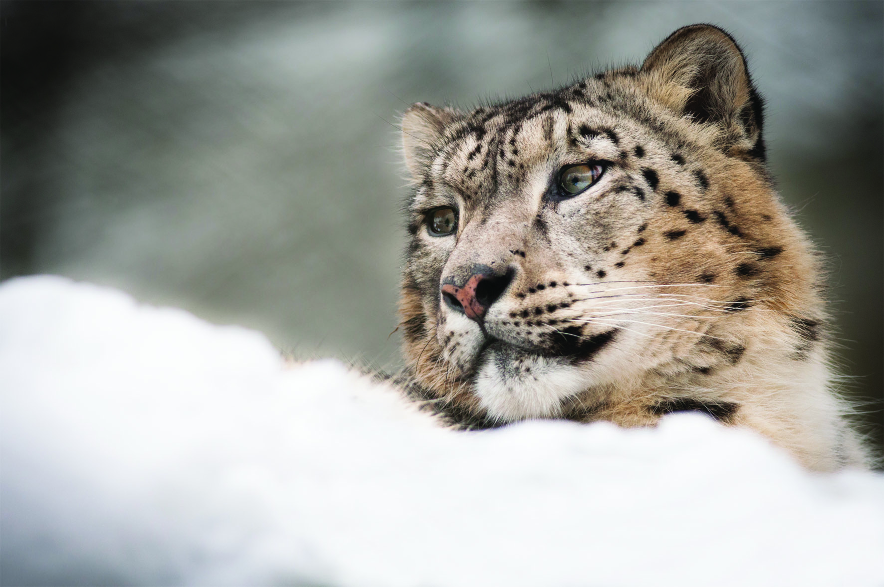Snow Leopard Panthera Uncia Marwell Zoo Laurie Brailey Med