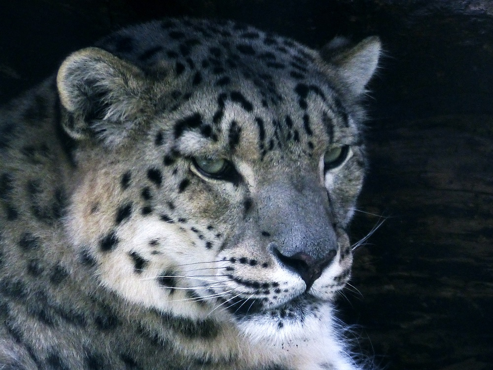 Snow Leopard Panthera Uncia Marwell Zoo Side View