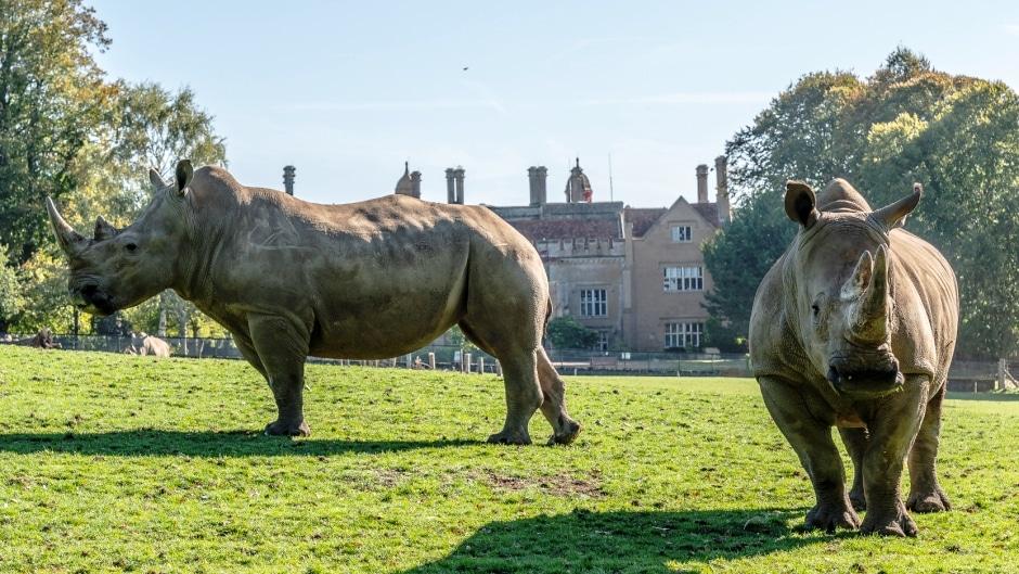 White Rhinoceros Ceratotherium Simum Marwell Zoo 1