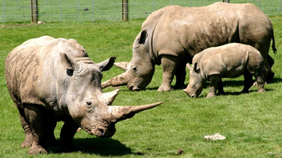White Rhinoceros Ceratotherium Simum Marwell Zoo 3