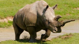 White Rhinoceros Ceratotherium Simum Marwell Zoo 5