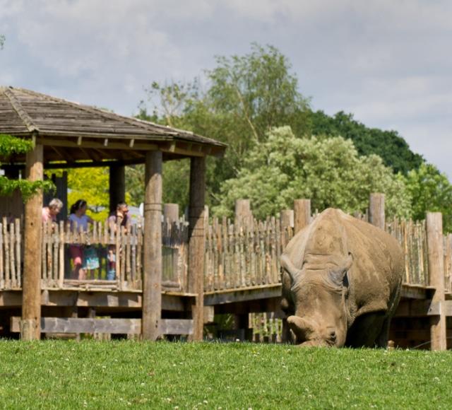 White Rhinoceros Ceratotherium Simum Marwell Zoo Mark Cartwright 2