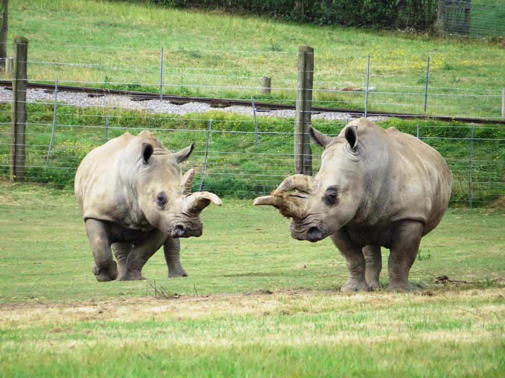 White Rhinoceros Ceratotherium Simum Marwell Zoo Kiri And Sula 1024