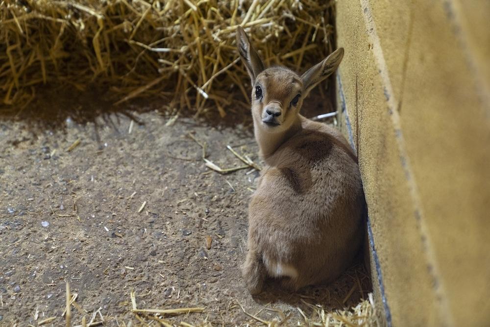 Dorcas Gazelle Baby At Marwell Zoo 2