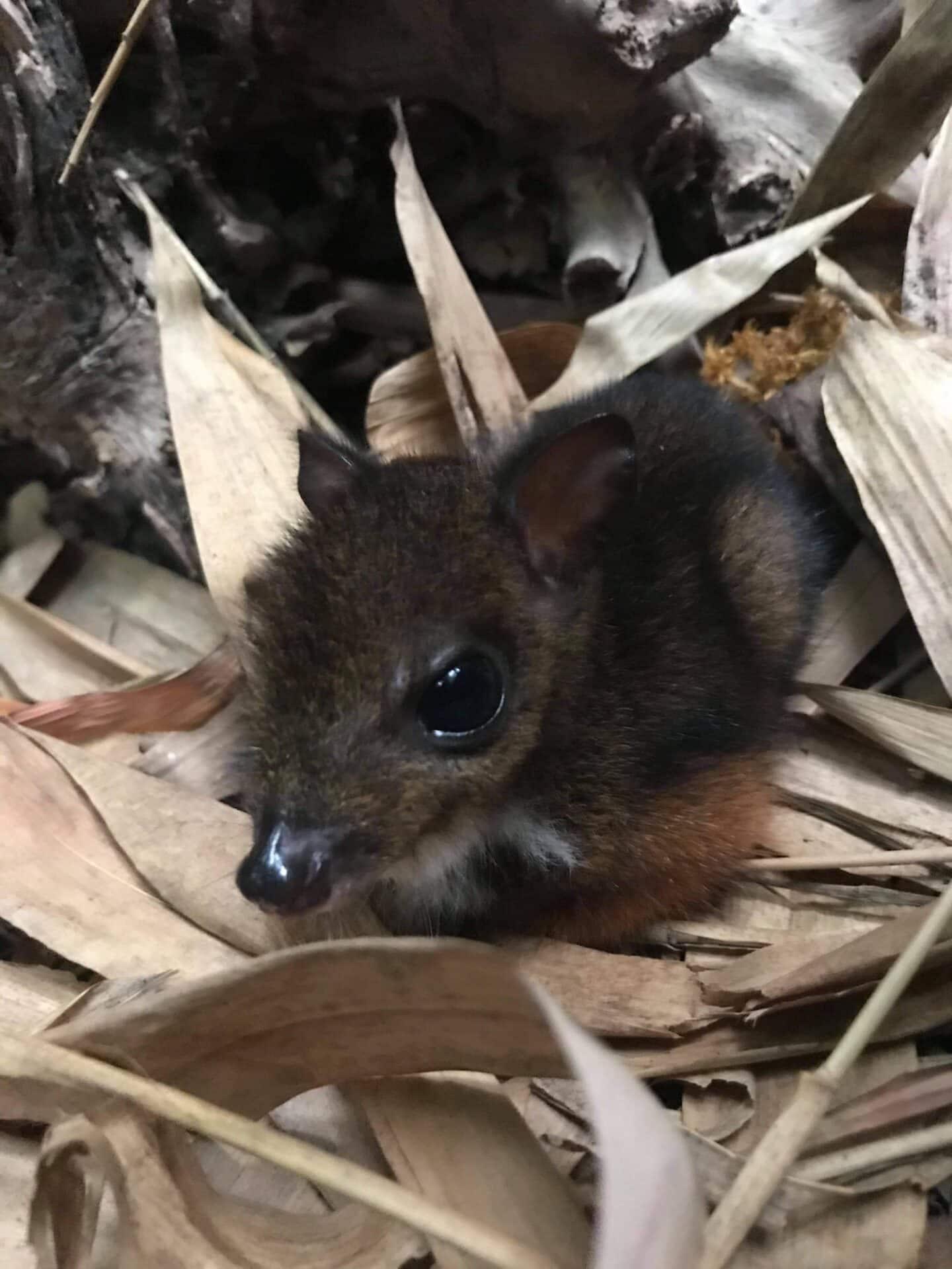 Marwell Zoo Javan Chevrotain Fawn Born 2
