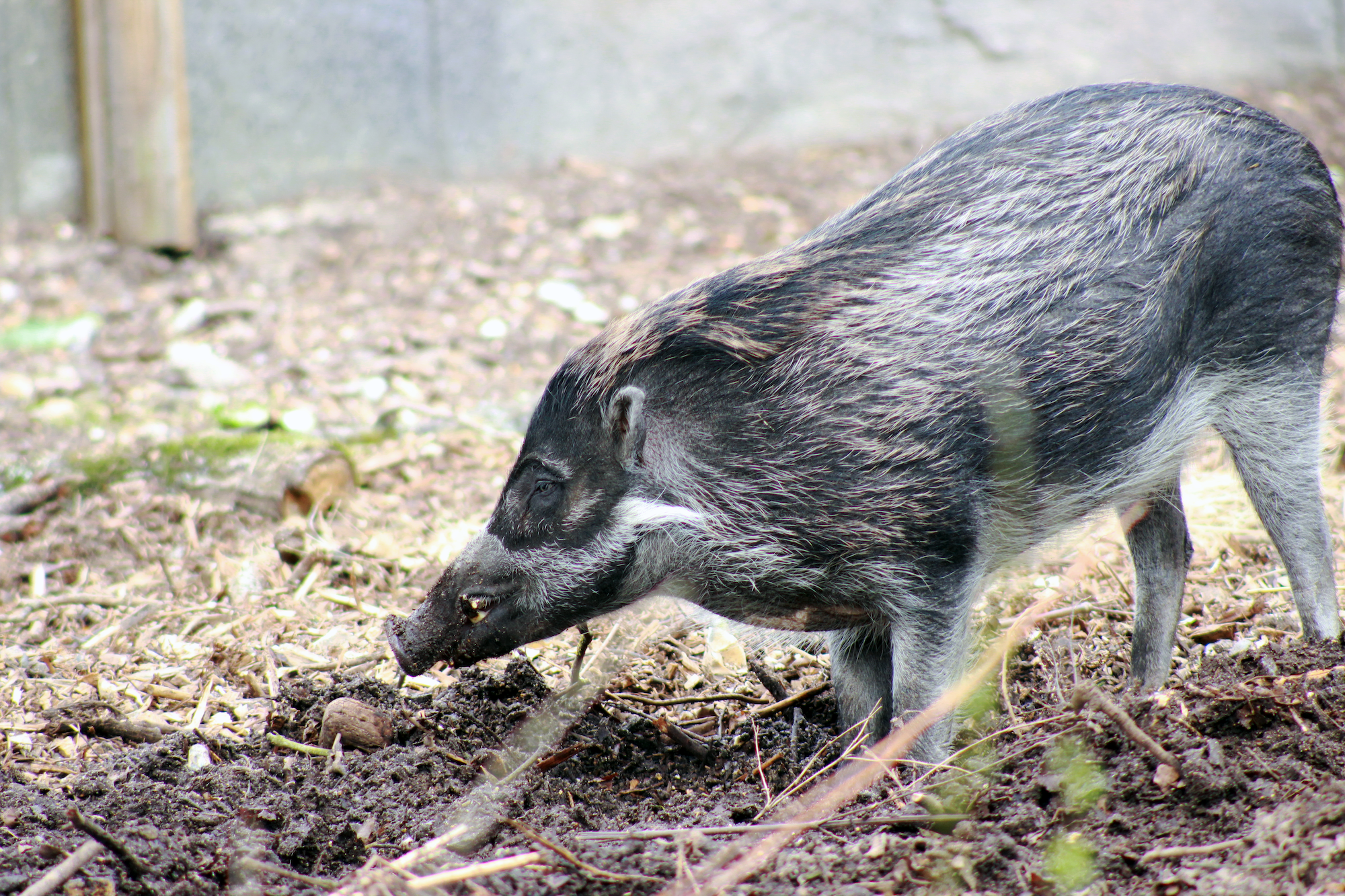 Visayan_warty_pig_at_marwell_zoo