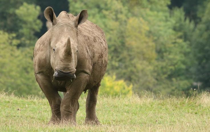 White Rhinoceros Ceratotherium Simum Marwell Zoo In Field