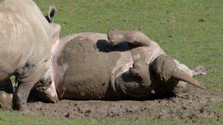 White Rhinoceros Ceratotherium Simum Marwell Zoo In Mud