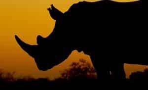 White Rhinoceros Ceratotherium Simum Marwell Zoo Sunset