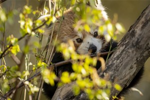 Zoo Photographer Credit Jason Brown Red Panda 10