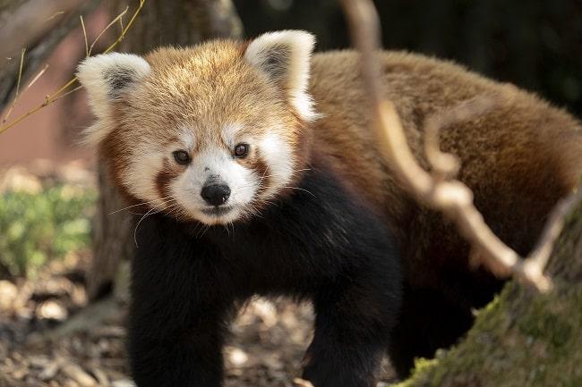 Zoo Photographer Credit Jason Brown Red Panda 9
