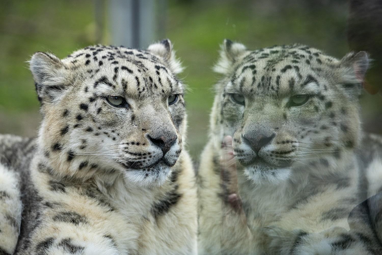 Zoo_photographer_ _credit_jason_brown_ Cheetah_reflection_2