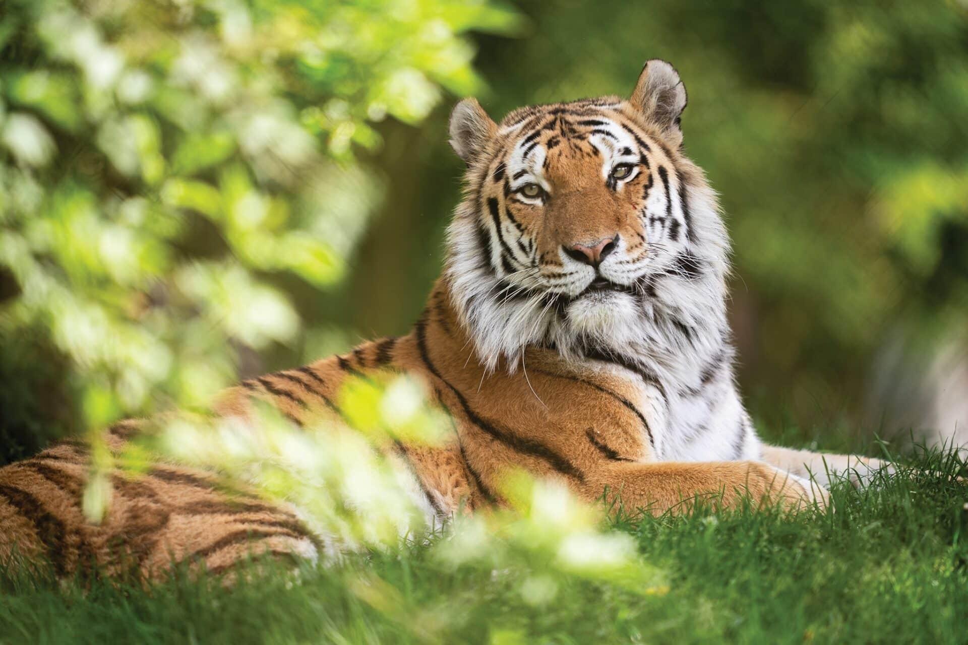 Amur Tiger Panthera 10