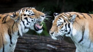 Amur Tiger Panthera Tigris Altaica Marwell Zoo 3