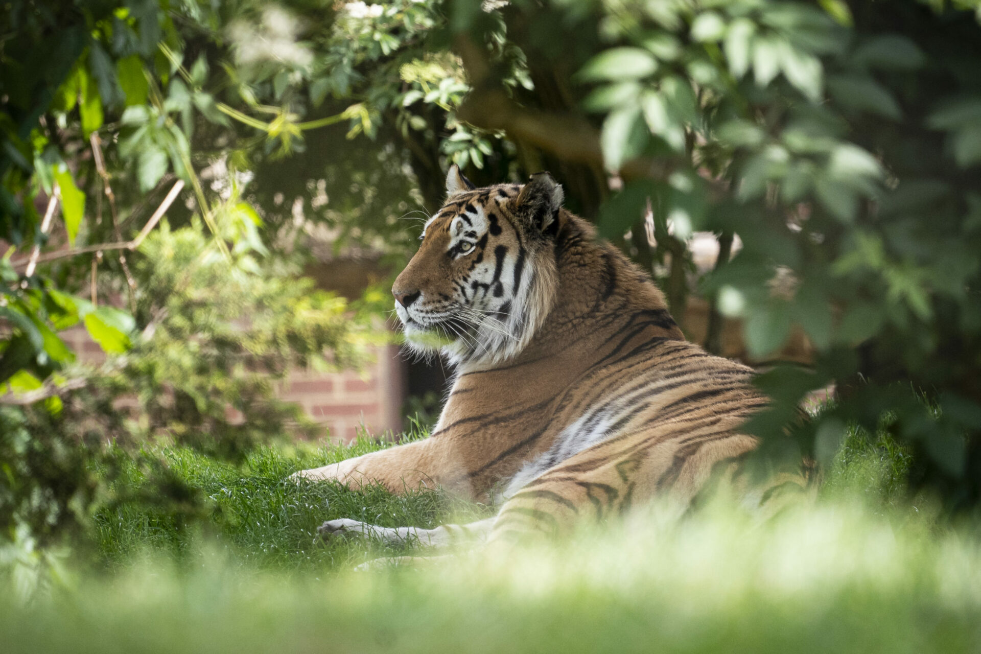 Amur Tiger Panthera Tigris Altaica Marwell Zoo Jason Brown Bagai