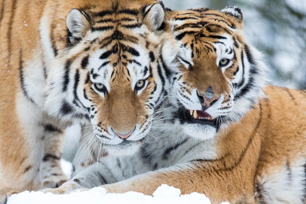 Amur Tiger Panthera Tigris Altaica Marwell Zoo Jason Brown In Snow