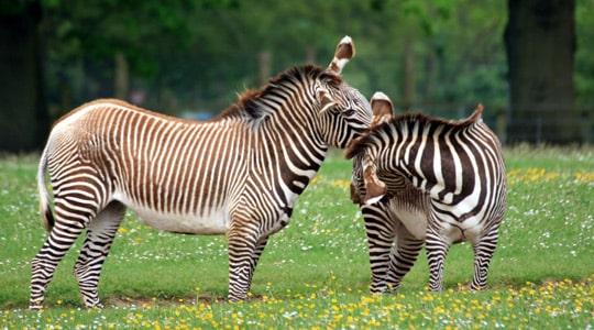 Hartmanns Mountain Zebra Equus Zebra Hartmannae Marwell Zoo Two Zebras