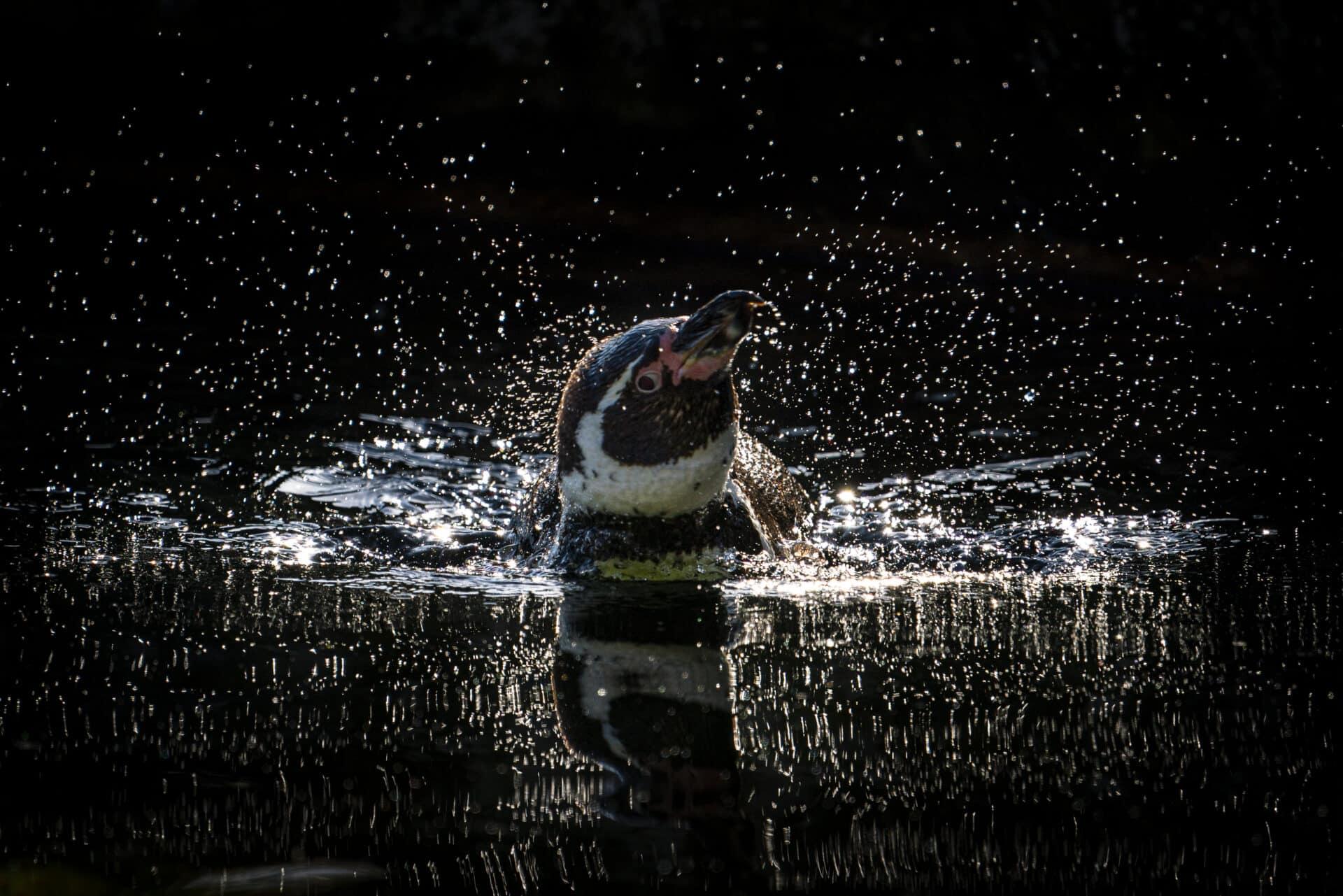 Humbolt Penguin Spheniscus Humboldti Marwell Zoo Jason Brown 1
