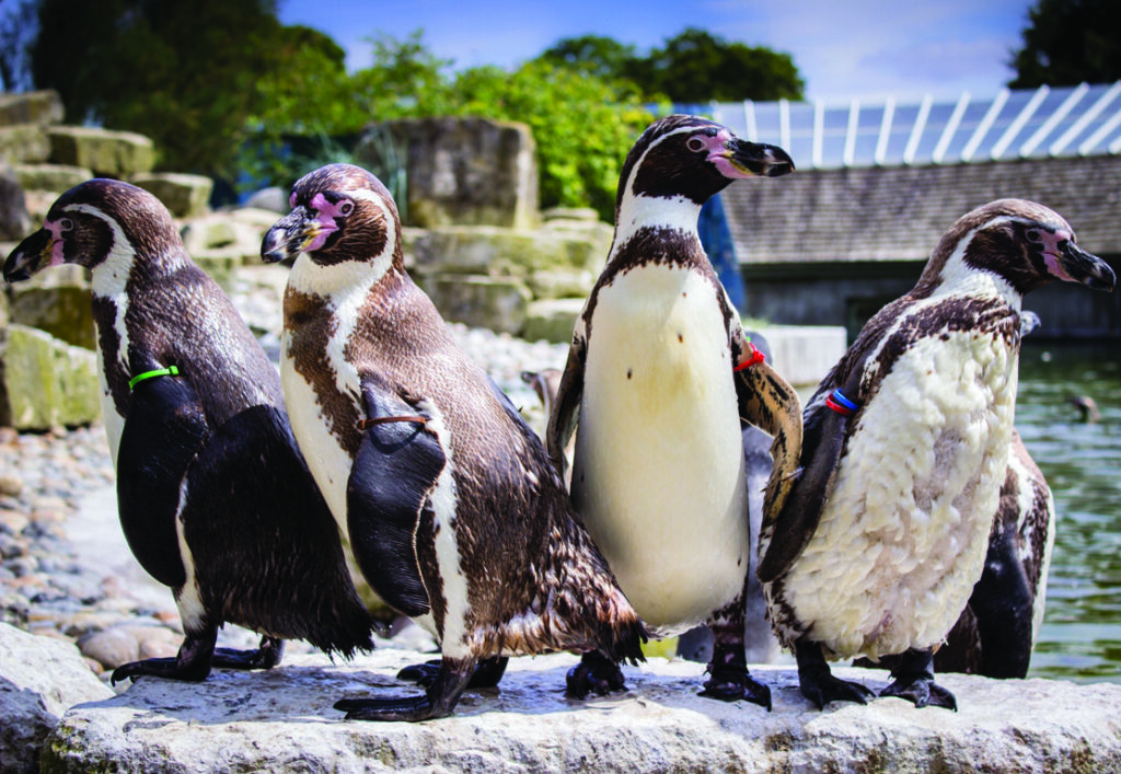 Humbolt Penguin Spheniscus Humboldti Marwell Zoo Jason Brown 2