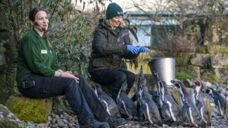 Humbolt Penguins Spheniscus Humboldti Marwell Zoo Humboldt Penguin 4