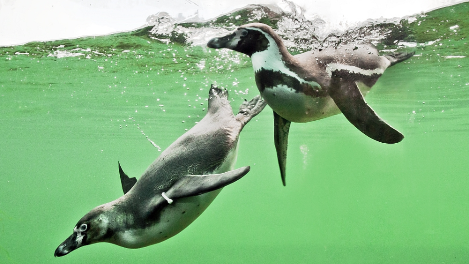 Humbolt Penguins Spheniscus Humboldti Marwell Zoo Penguin Directory 2