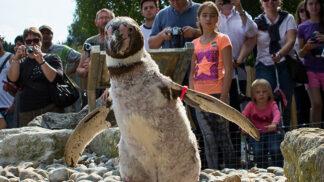 Humbolt Penguins Spheniscus Humboldti Marwell Zoo Penguins