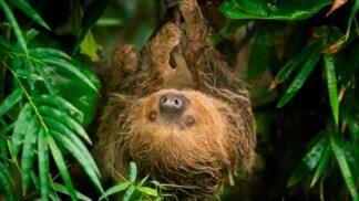 Linnes Two Toed Sloth Choloepus Didactylus Marwell Zoo Jason Brown Rica 22 09 18