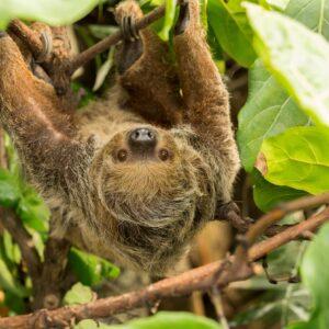 Linnes Two Toed Sloth Choloepus Didactylus Marwell Zoo Sloth