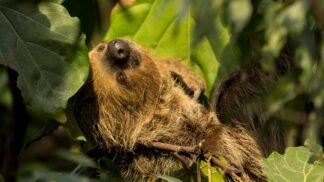 Linnes Two Toed Sloth Choloepus Didactylus Marwell Zoo Th Sloth