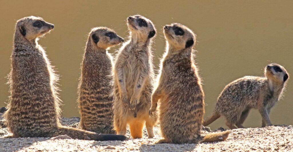 Meerkat Suricata Suricatta Marwell Zoo Keep In Touch