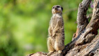 Meerkat Suricata Suricatta Marwell Zoo Jason Brown Meerkat Sitting Up 2
