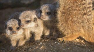 Meerkat Suricata Suricatta Marwell Zoo Meerkats Pups