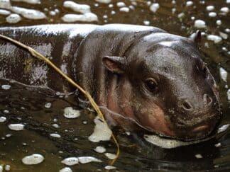 Pygmy Hippopotamus Choeropsis Liberiensis Marwell Zoo Mark Fryer