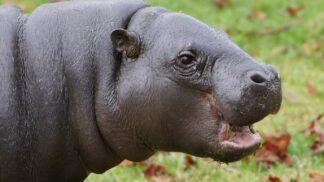 Pygmy Hippopotamus Choeropsis Liberiensis Marwell Zoo Paul Riley 5
