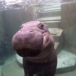 Pygmy Hippopotamus Choeropsis Liberiensis Marwell Zoo Swimming