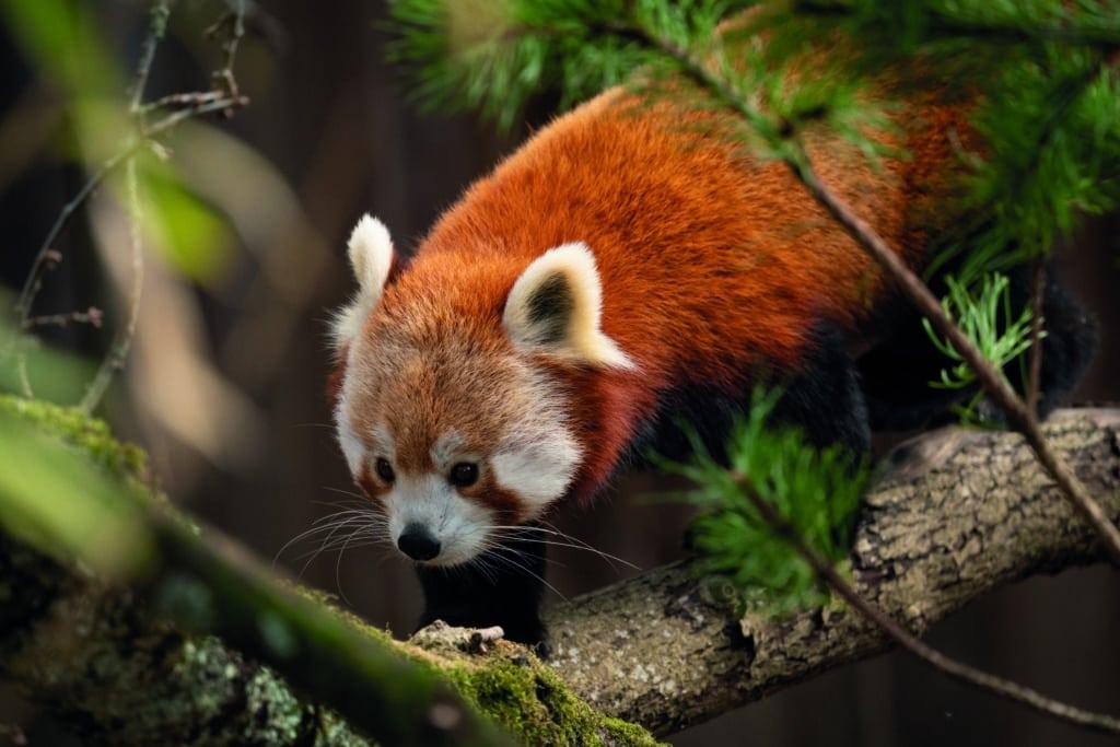 Red Panda Ailurus Fulgens Marwell Zoo Jason Brown Mei Mei New Home