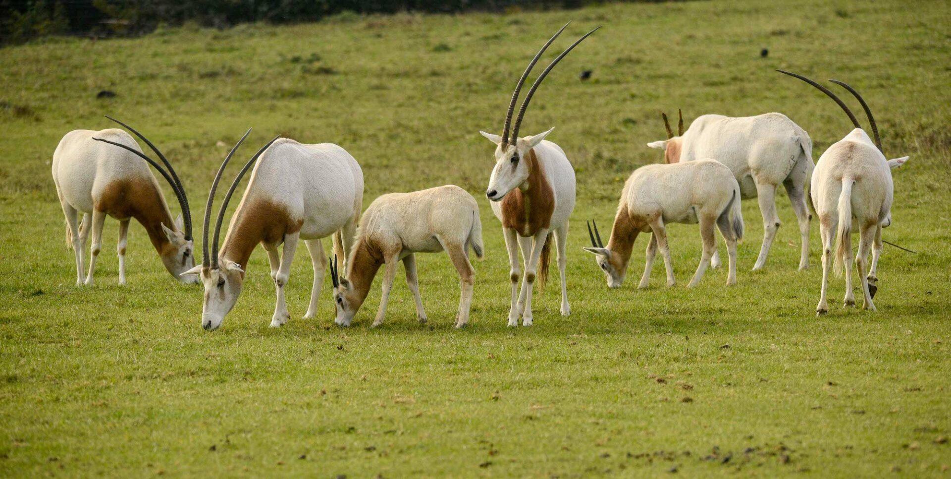 Scimitar Horned Oryx Oryx Dammah Marwell Zoo Hannah Pearce Oryx 2
