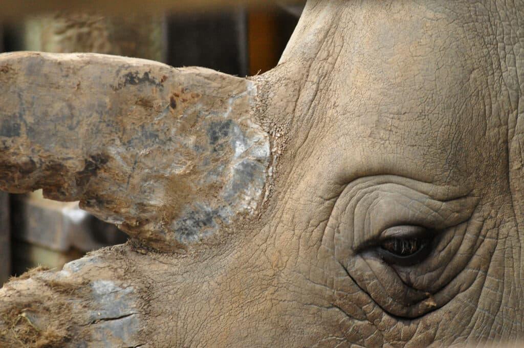White Rhinoceros Ceratotherium Simum Marwell Zoo Richard Judd