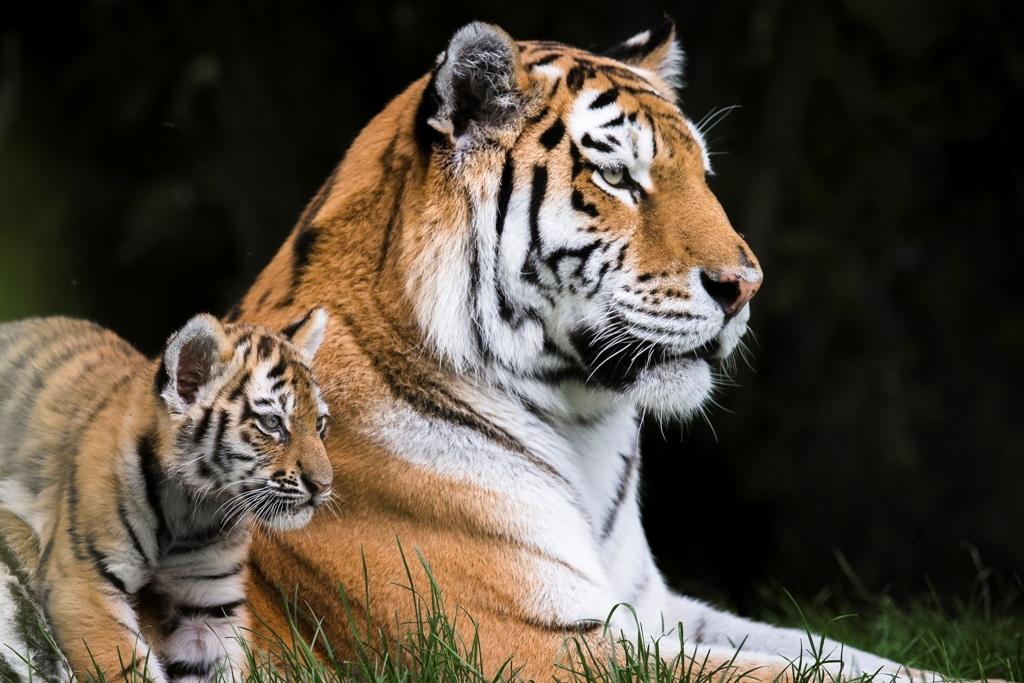 Amur tiger - Panthera tigris altaica at Marwell Zoo